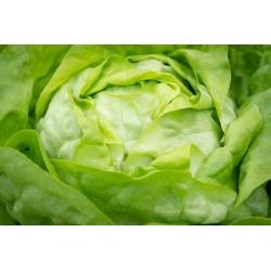 LAITUE-salade