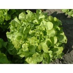 FEUILLE DE CHENE VERTE- salade