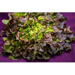 FEUILLE DE CHENE BRUNE- salade
